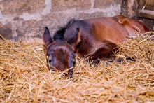 A Newly Born Colt Is Sleeping ...