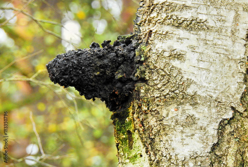 Chaga Pilz am Baum