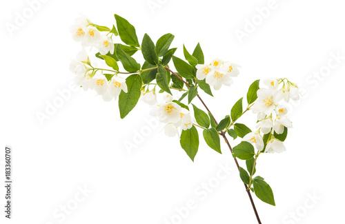 Photo  jasmine flower