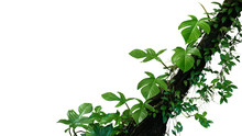 Fiddle Leaf Philodendron The T...