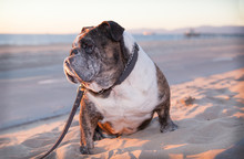 Senior Bulldog Sits On The San...