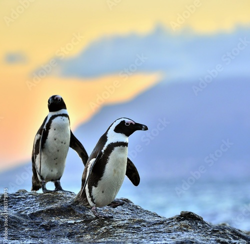 African penguins (Sciencific name: spheniscus demersus) The African penguin on the shore in  evening twilight.  Red sunset sky.