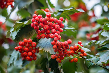Red Wild Hawthorn Berries On Branches Close