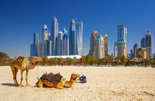 The Camels On Jumeirah Beach A...