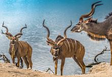 Male Greater Kudus, Chobe National Park, Botswana