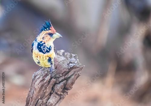 Obraz Crested barbet, Chobe National Park, Botswana - fototapety do salonu