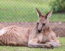 Relaxing Kangaroo