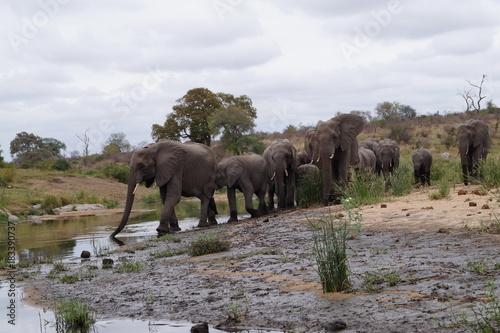 Poster Elephant Elepants in Kruger National Park, South Africa