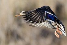 Mallard Duck Taking To Flight