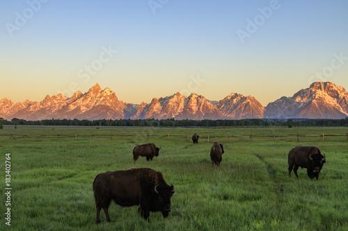 Aluminium Prints Bison Grand Teton mountains