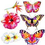 Fototapeta Buterfly - beautifu tropical  butterflies and flowers,watercolor,isolated on a white