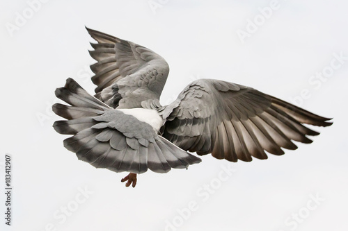 flying pigeon bird feather wing agains white sky