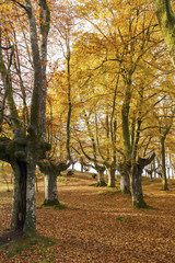 Urkiola natural park, Basque Country, Spain. Beech forest in autumn.