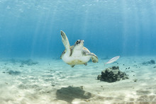 Marine Turtle Waving Hand Or Giving A High Five