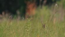 Aquatic Warbler. Male. Song.