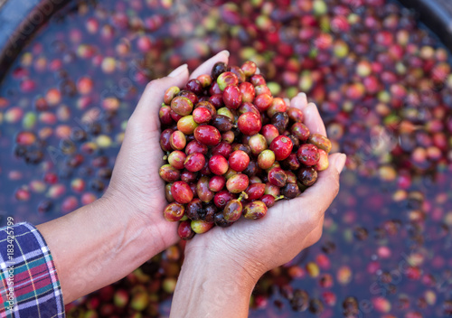 Photo  Organic red cherries coffee beans in hands of farmers, berry coffee beans