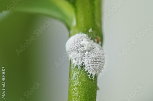 Photo close up Pests mealy bugs on flowers plant