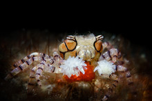 Boxing Crab Dancing