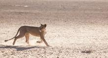 Lioness Running Through Kalaha...