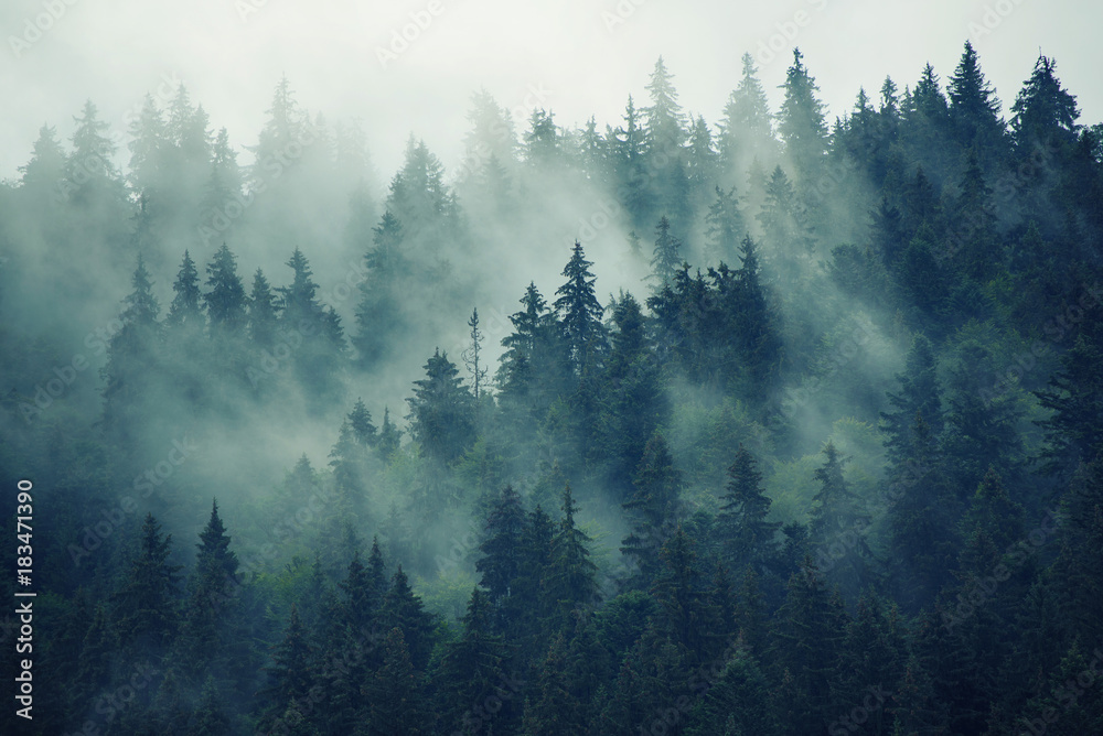 Fototapeta premium Mglisty las jodłowy