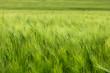 canvas print picture - Grasses, Saxon Switzerland