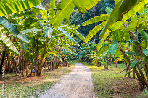 Fotografía plantation of banana tree. thailand.