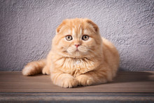 Cat. Scottish Fold Kitten On W...