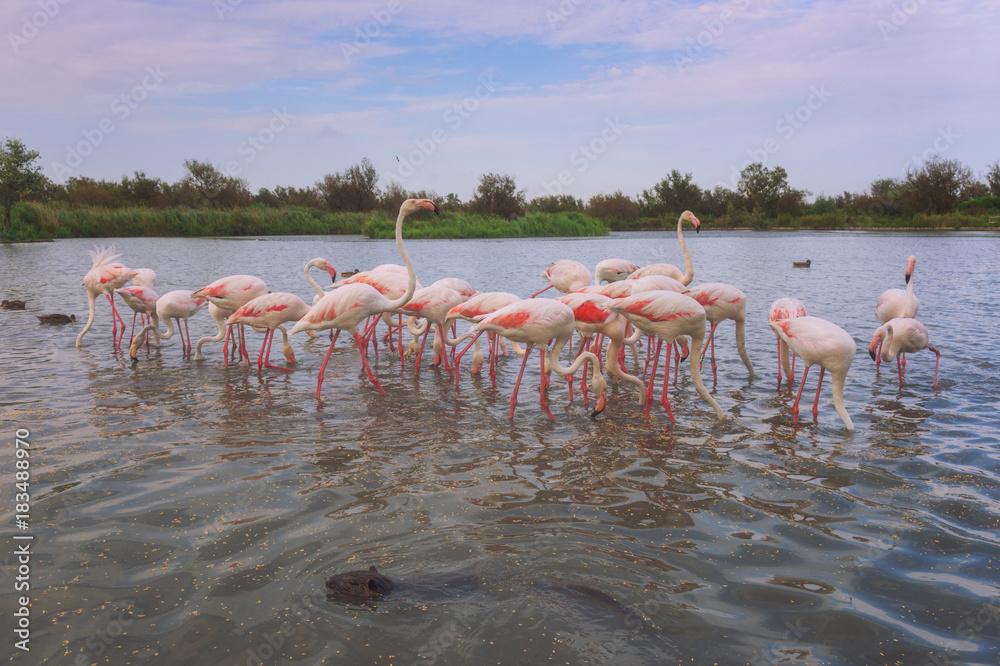Pink flamingos in nature, ornitological park Pont de Gau, Camargue, south France