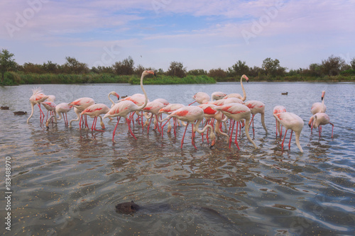 Pink flamingos in nature, ornitological park Pont de Gau, Camargue, south France