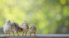 4 Yellow Baby Chicks On Wood F...