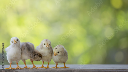 Canvas Print 4 yellow baby chicks on wood floor behind natural blurred background
