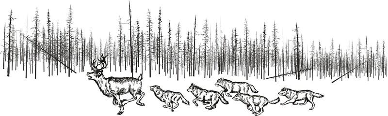 Hunting wolves for deer.