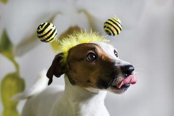 Jack Russell w obręczy w postaci pszczół