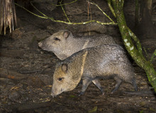 Two Collared Peccaries