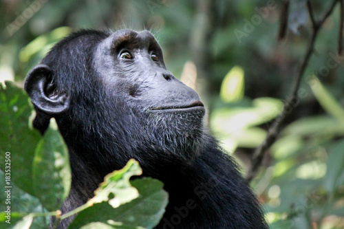 Leinwand Poster Common Chimpanzee - Scientific name- Pan troglodytes schweinfurtii portrait at K