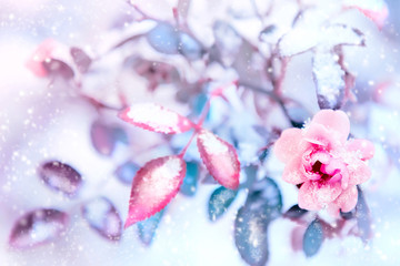 FototapetaBeautiful pink roses and blue leaves in snow and frost in a winter park. Christmas artistic image. Selective and soft focus.