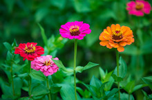 Orange, Pink And Red Zinnia Fl...