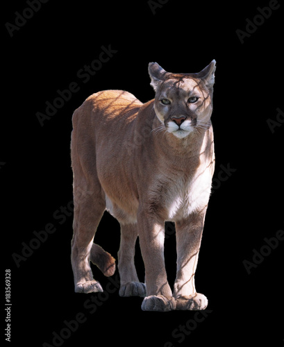 Spoed Fotobehang Puma Puma walking at camera isolated at the black