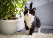 Black And White Curious Kitten...