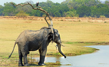 African Elephant At A Small Wa...