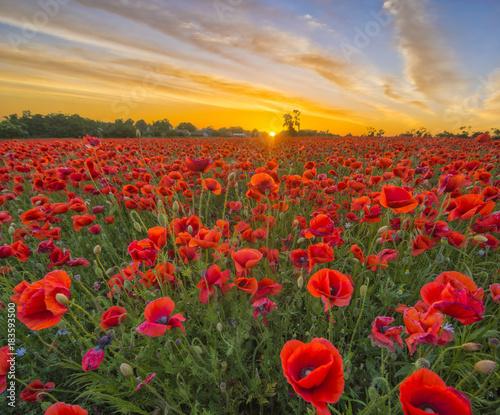 Fotobehang Poppy Poppies in sunset light