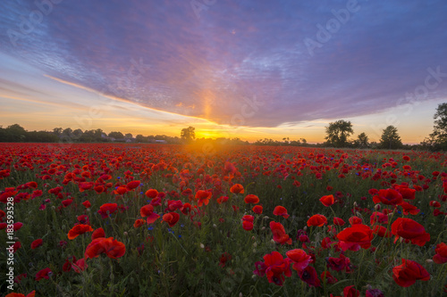 Canvas Prints Poppy Poppies in sunset light