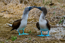 Blue Footed Booby (Sula Neboux...