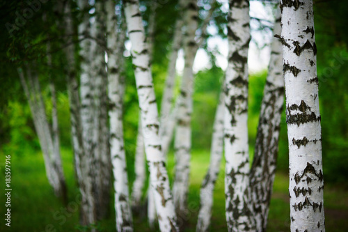birch grove at spring time