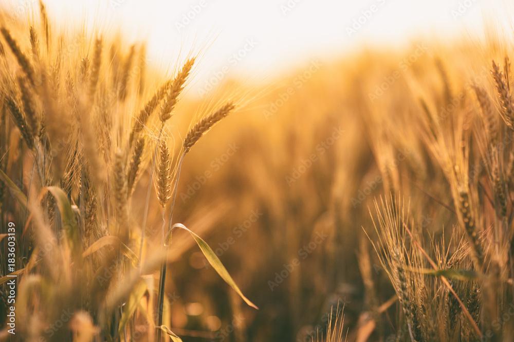 Fototapety, obrazy: Ripe golden spikelets of wheat