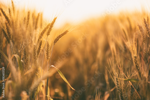 Stampa su Tela  Ripe golden spikelets of wheat