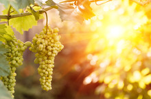 Large Ripening Bunch Of White Grape On The Vine