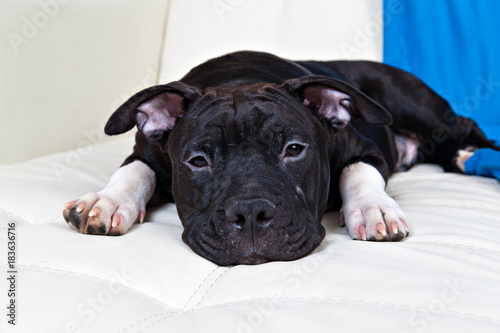 Black american staffordshire terrier puppy - Buy this stock