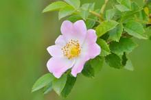 Wild Rose Pink Flower, Dog Ros...
