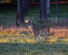 Eight Point Whitetail Buck, Ea...